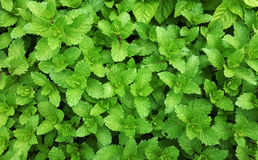 peppermint image stock