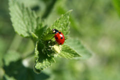 Peppermint. Plant with a ladybug on it Royalty Free Stock Photography