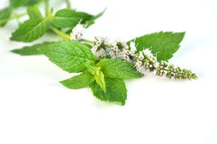 Peppermint in bloom Stock Photos