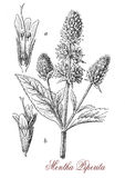 Peppermint,  botanical vintage engraving. Peppermint or mentha piperita is a herbaceous perennial fast growing plant, the  leaves are dark green with reddish Stock Image