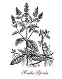 Peppermint,  botanical vintage engraving Stock Photo