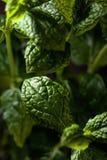 Bunch of fresh  organic mint leaf closeup. Royalty Free Stock Photos