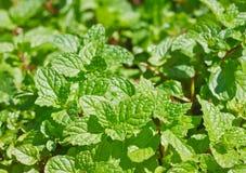 Peppermint Bush Stock Photo