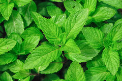 Peppermint. Closeup picture of peppermint leaves Stock Photos
