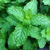 peppermint Royalty Free Stock Photo