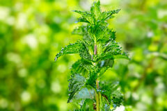 Peppermint  in the garden Stock Photography