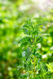 Peppermint in the garden Stock Image