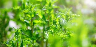 Peppermint in the garden Stock Photos