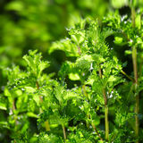 peppermint in the garden Stock Photo