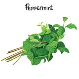 Peppermint. Green Mint sprigs. Peppermint herb. Vector illustration Stock Images