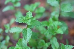 Peppermint that has the aromatic qualities of strong teeth and fresh ivy is a ground cover plant in the garden. Peppermint has aromatic qualities strong teeth stock photos