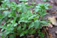 Peppermint that has the aromatic qualities of strong teeth and fresh ivy is a ground cover plant in the garden. Peppermint has aromatic qualities strong teeth stock images