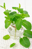 Peppermint herb Stock Images