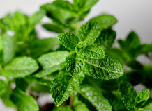 Peppermint Herb. Leaf sprigs in a plant stock photo
