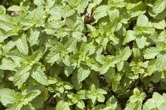 Peppermint Herb Plant Leaves Royalty Free Stock Photography