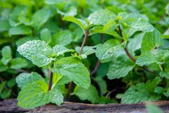 Peppermint herb or vegetables in the garden The plant is useful Stock Image