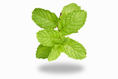 Peppermint. Isolate Fresh peppermint in white background stock images