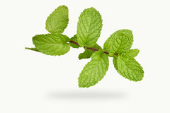 Peppermint. Isolate Fresh peppermint in white background stock photos
