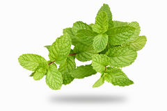 Peppermint. Isolate Fresh peppermint in white background royalty free stock photos