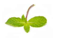 Peppermint. Stock Photos