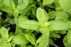 Peppermint, Kitchen Mint, Marsh Mint (Mentha cordifolia Opiz.). Royalty Free Stock Images