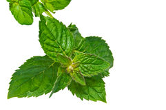 Peppermint leaf. Stock Photography