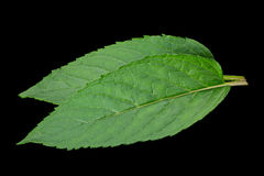 Peppermint leaf on black Royalty Free Stock Photography