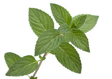 Peppermint leaf colseup on white Royalty Free Stock Photography