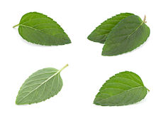 Peppermint leaf colseup on white Stock Image