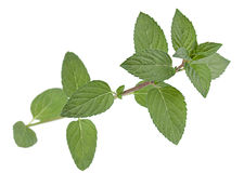 Peppermint leaf colseup on white Stock Images