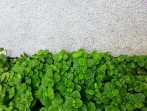 The peppermint leaf and the walk way Royalty Free Stock Photography