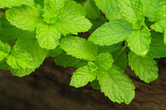 Peppermint leaves Royalty Free Stock Photos
