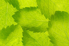 Peppermint leaves pattern Stock Image