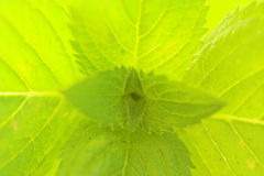 Peppermint macro. Refreshing background image of extreme close-up of fresh mint stock photography