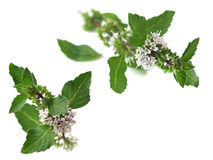 Peppermint (Mentha piperita). Branch of mint with flower. Well known for its many health benefits royalty free stock photos