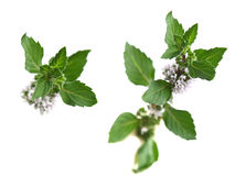 Peppermint (Mentha piperita). Branch of mint with flower. Well known for its many health benefits stock image
