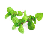 Peppermint or mint bunch Stock Photos
