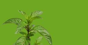 Peppermint over green Stock Photos