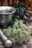 Peppermint is perennial herbaceous plant Stock Photos