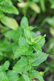 Peppermint Plant Royalty Free Stock Photos