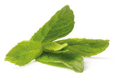 Peppermint plant. Close-up shoot of green peppermint plant. (Lat. Mentha piperita royalty free stock images
