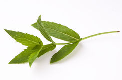 Peppermint_plant Royalty Free Stock Photos