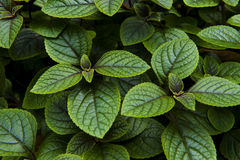Peppermint plant Stock Images