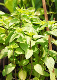 Peppermint plant Royalty Free Stock Photography