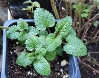 Peppermint plant growing in a pot with light day seen from up close. Mentha spicata stock images