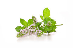 Peppermint plant . Peppermint plant isolated on white background Stock Photo