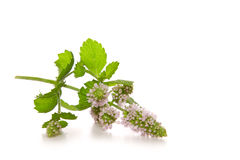 Peppermint plant . Stock Images