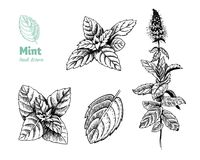 Peppermint plant, leaves and flowers vector hand drawn illustration. Detailed hand drawn vector illustration of peppermint plant with flowers and leaves vector illustration