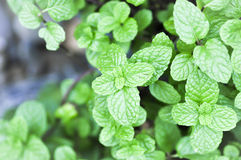 Peppermint plant, marsh mint or  mentha cordifolia Royalty Free Stock Photography
