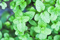Peppermint plant, marsh mint plant or  mentha cordifolia Royalty Free Stock Photography